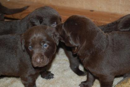 Chocolate Labrador Stud | Soggyacres Labrador Retrievers | Page 8